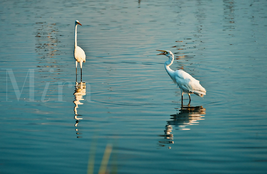 Egret, Chincoteague National Widlife Refuge, Virginia, USA