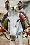 Portrait of a donkey, Morocco