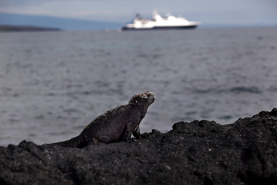 A marine iguana, found only on the Galapagos Islands, lounges on a rock on Isabela Island. The marine iguana is the only modern lizard that lives and forages in the sea and its primary food source is marine algae. Because they have to rid their bodies of excess salt, one can often see marine iguanas making a sort of sneezing sound and expelling water and salt from their noses.  In the distance one can see the Celebrity Xpedition ship, one of the cruise ships that bring visitors to the Galapagos Islands.