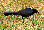 Common Grackle, Quiscalus quiscla, Florida Everglades. .USA....