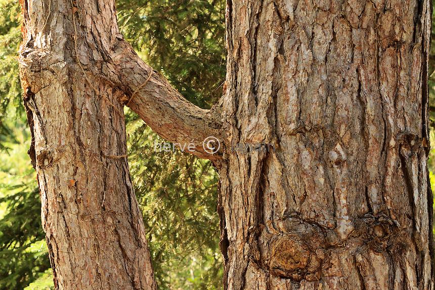 Arboretum des Barres ou Arbofolia, greffe naturelle chez un pin noir d'Autriche (Pinus nigra ssp. nigra) // Natural graft on European black pine (Pinus nigra ssp. nigra) , France, Arbofolia.