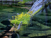 Monkey flowers growing on log in Silent Creek, Oregon