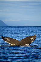 Humpback whale sounds in the sunny blue waters of Prince William Sound, Alaska