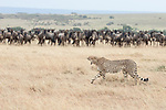 "This disgruntled cheetah walks past a herd of wildebeest and yawns in dismay as he is robbed of his dinner by a pride of stalking lions. The astonishing scene was captured by Australian native Renee Doyle in the Olare Motorogi Conservancy which is part of the Maasai Mara-Serengeti ecosystem and wildlife dispersal zone. It borders the Maasai Mara National Reserve. <br /> <br /> The 55 year old said ""The cheetah had been creeping up closer to the wildebeest for a while before a pride of lions arrived. The cheetah realised there was no point in exerting all its energy on a hunt only to have the lions steal their catch, so walk away empty pawed!"" <br /> <br /> ""Wildebeest are funny creatures, they stand together and were watching the cheetah walk past. Though if one runs they all go!"" <br /> <br /> Please byline: Renee Doyle/Solent News<br /> <br /> © Renee Doyle/Solent News & Photo Agency<br /> UK +44 (0) 2380 458800"