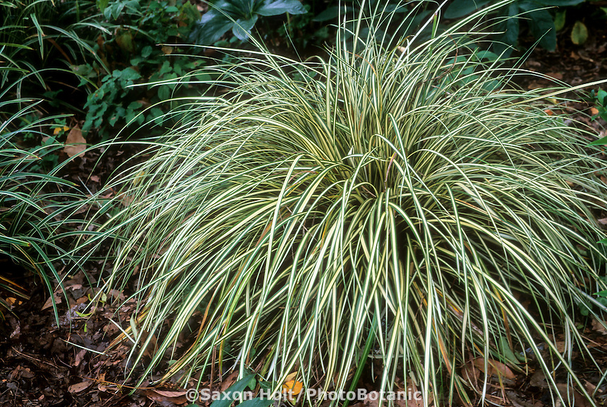 Carex morrowii 'Aureo-variegata' Variegated Japanese Sedge in garden