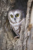 Northern Saw-whet Owl peering out of a tree cavity