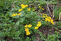 Sumpf-Dotterblume, Sumpfdotterblume, Caltha palustris, Kingcup, Marsh Marigold