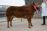 Melton &amp; Belvoir Christmas Fatstock Show &amp; Sale<br /> Melton Mowbray,Leicestershire<br /> Beef Champion <br /> &copy;Tim Scrivener 07850 303986