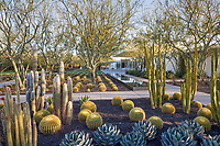 Espostoa melanostele (Peruvian Old Lady cactus) left, Echinocactus grusonii, Golden Barrel Cactus; and San Pedro Cactus in Sunnylands garden Southern California