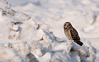 A short-eared owl rests on a snow pile on Alaska's north slope.