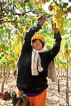 Harvesting grapes on a wine vineyard in the grape growing region of Ica, Peru.