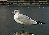 A Amerian Hearring Gull poses on a rock in the East River close to Roosevelt Island in New York City. This medium-sized gull, native to North America, has a yellow bill with a black ring near the tip, yellow eye and egs, feathers shades of grey and black-tipped wings with white spots (mirrors:).