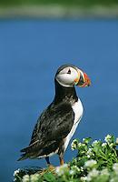 Papageitaucher, Papageientaucher, Papagei-Taucher, Fratercula arctica, Atlantic puffin, Vogelfels, Vogelfelsen