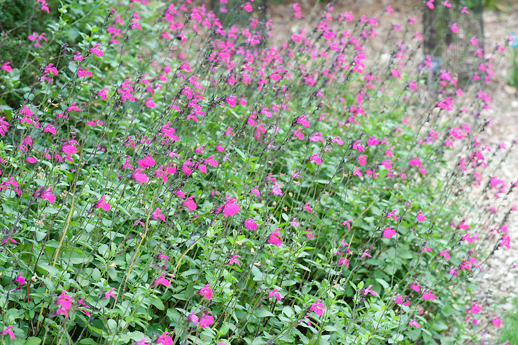 Salvia microphylla 'Pink Blush' (syn. S. grahamii), mid August. Native to southern USA and Mexico.