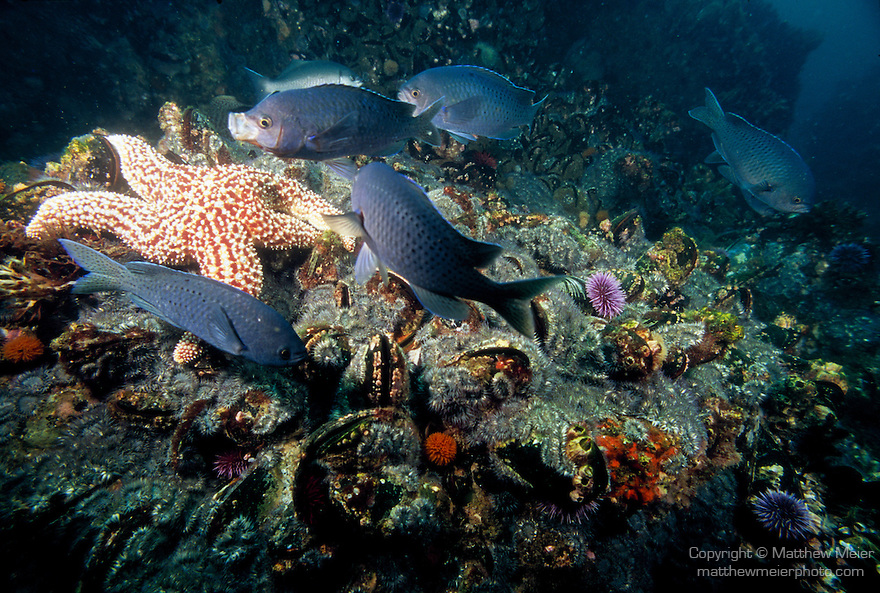 Santa Cruz Island, Channel Islands National Park and National Marine Sanctuary, California; a Giant Sea Star (Pisaster giganteus) on the rocky reef with Blacksmith (Chromis punctipinnis) fish swimming above , Copyright © Matthew Meier, matthewmeierphoto.com All Rights Reserved