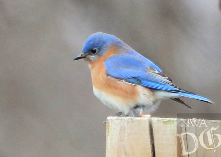 Courtesy photo/PHYLLIS KANE<br /> A blubird perches on the shoreline at Lake Fayetteville. Phyllis Kane of Fayetteville took the picture Jan. 4.