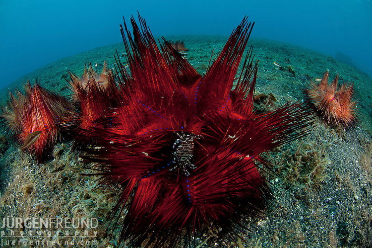 Sea urchins (Astropyga radiata) on the sandy bottom.