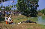 Ferme d'élevage de crocodiles (crocodylus porosus), les males sauvages les plus dangereux sont  capturés et parqués dans les fermes. ils sont nourris de poulets..Crocodiles Darwin australie