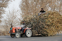 CHINA Provinz Xinjiang uigurische Doerfer bei Stadt Kashgar hier lebt das Turkvolk der Uiguren , Farmer faehrt Stroh mir einem Traktor / CHINA province Xinjiang uighur villages around city Kashgar where uyghur people are living, farmer transport straw with tractor