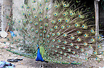 A peacock displays its tail feathers at a local breeding farm in Khan Younis in the southern Gaza Strip, May 5, 2015. Male peacocks display and shake its tail feather to attract attention to female peahens during courtship. Photo by Abed Rahim Khatib