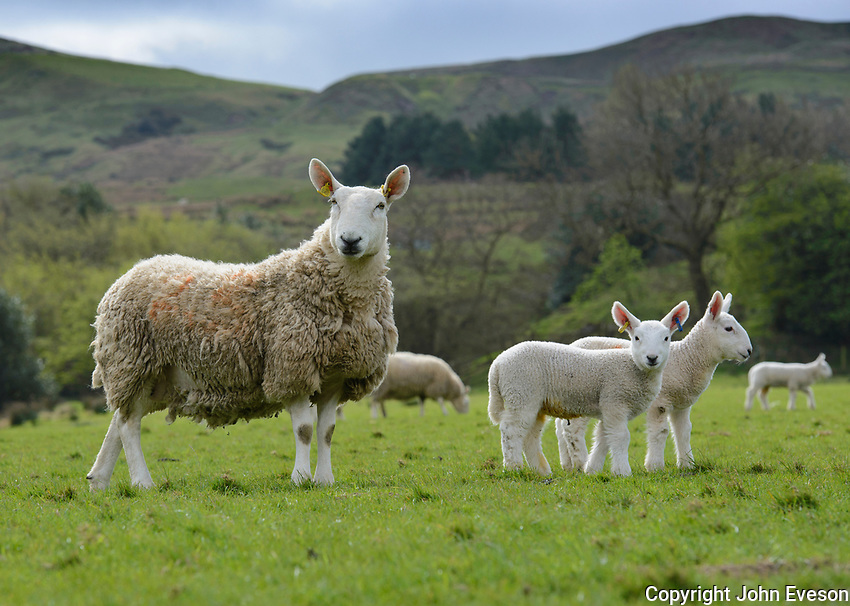 North Country Cheviot ewes and lambs, Edale, Derbyshire.
