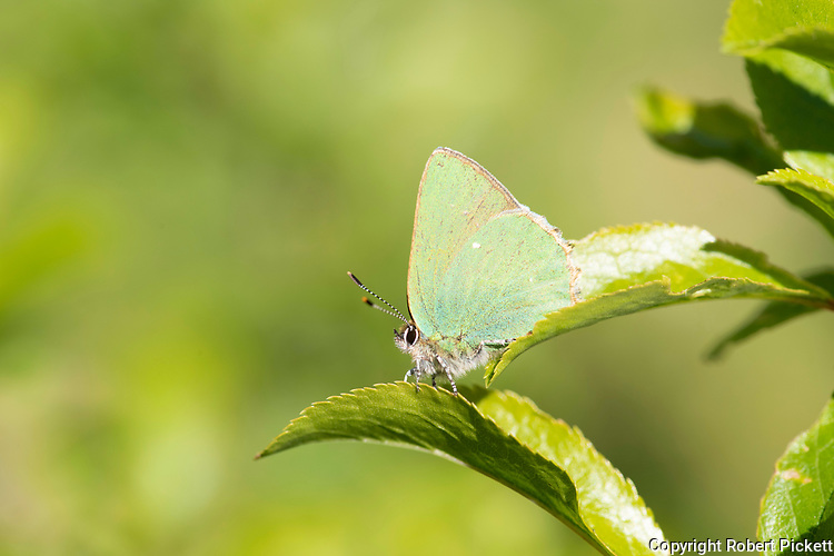 Green Hairstreak Butterfly, Callophrys rubi, Monkton Nature Reserve, Kent UK,  illusion of being green, an effect produced by the diffraction of light on a lattice-like structure found within the wing scales, which provides excellent camouflage as the butterfly rests on a favourite perch