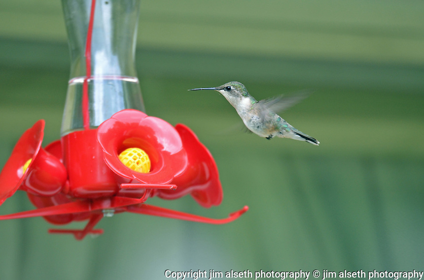 This delicate beauty is a regular at Ruth Willard's hummingbird feeder, situated right outside the kitchen window... Affordable stock photos with animal photos, wildlife photos and bird photos.