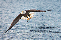 Bald Eagle in flight and catching fish, Homer, Alaska, Haliaetus leucocephalus