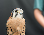 American kestral Apollo on display after the Wild Life Live show at The Oregon Zoo. © The Oregon Zoo / photo by Carli Davidson