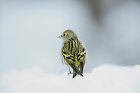 Eurasian Siskin (Carduelis spinus), female perched on snow, Zug, Switzerland, Europe