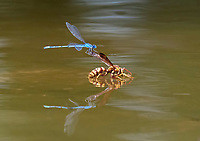 familiar bluet damselfly, Enallagma civile, landing on paper wasp, Polistes sp., while it takes a drink in a pond.,Texas, USA