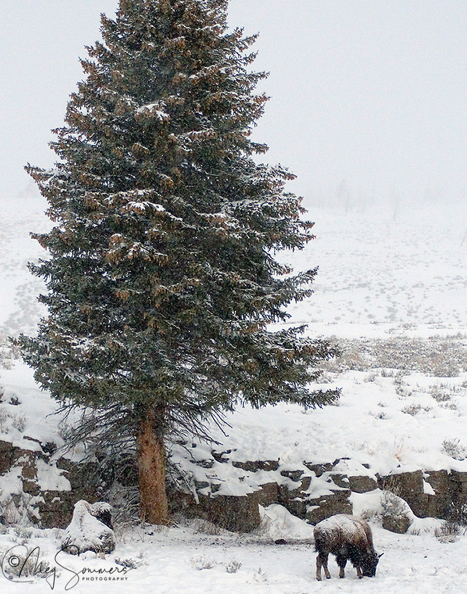 Winter can be extremely cold in Yellowstone. On this day it was 20 below and dropping.  These two bison (Bison bison) were just trying to conserve heat and energy to wait it out. Do you see both bison?<br /> Blacktail Plateau, Yellowstone