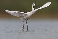 Snowy Egret (Egretta thula) takes flight, East Pond, Jamaica Bay Wildlife Refuge