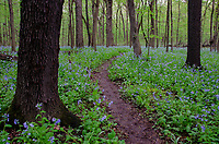 The woods at O'Hara Woods feature a carpet of Virginia Bluebells (Mertensia virginica) and a trail cuts through the heart of the forest to let all enjoy, Nature Preserve, Will County, Illinois