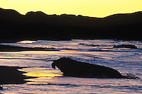 Northern Elephant Seal bull (Mirounga angustirostris) coming ashore at sunrise.  CA. Winter.