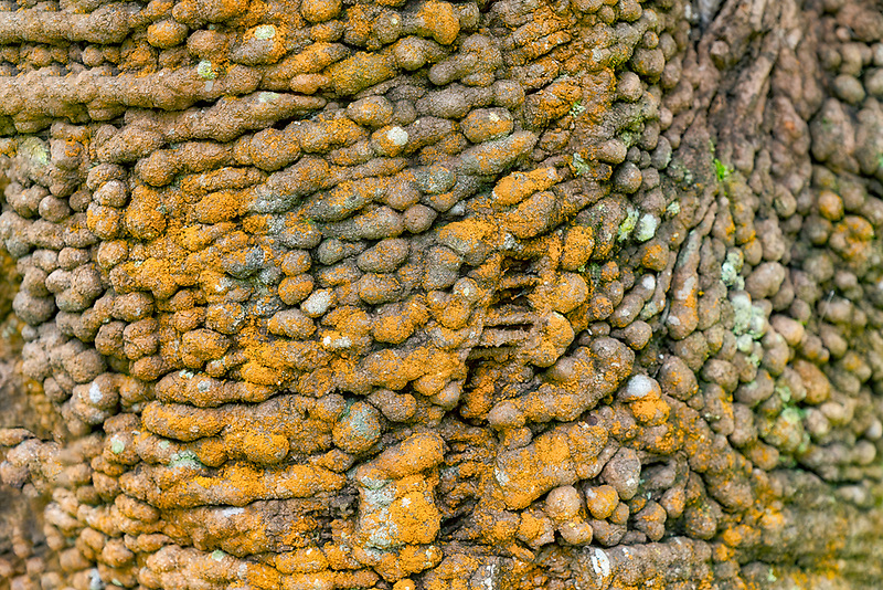 Close up of tree bark. Banksia serratifolia. Mauai, Hawaii