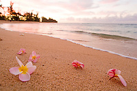 Plumeria flowers along the shoreline at sunset on Oahu's north shore