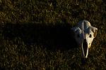 Guanaco (Lama guanicoe) skull, Torres del Paine National Park, Patagonia, Chile