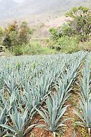Agave field at Felix Garcia a Maestro Mezcalero at his ranch and distillery in El Potrero, Oaxaca, Oaxaca, Mexico
