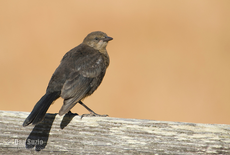 Female Brewer's blackbird, Euphagus cyanocephalus, Point Reyes National Seashore, California