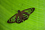 Marshall's Ghost Skipper Butterfly, Phanus marshalli, Panama, Central America, Gamboa Reserve, Parque Nacional Soberania, resting on leaf