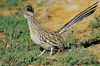 Greater Roadrunner (Geococcyx californianus), Southwest U.S.