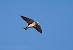 Cliff Swallow (Petrochelidon pyrrhonota) in flight, Mono Lake Basin, California, USA