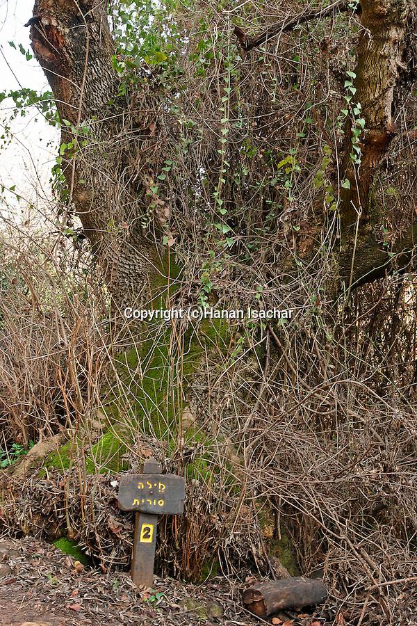 Israel, the Upper Galilee. Syrian Ash tree (Fraxinus Syriaca) in Tel Dan<br />