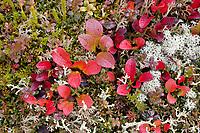 Bearberry and caribou moss, tundra vegetation, Denali National Park, Interior, Alaska.