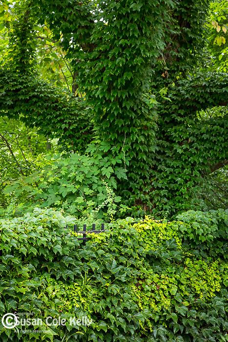 Ivy-covered tree at the Arnold Arboretum in the Jamaica Plain neighborhood, Boston, Massachusetts, USA