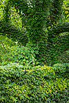 Ivy-covered tree at the Arnold Arboretum in the Jamaica Plain neighborhood, Boston, Massachusetts, USA