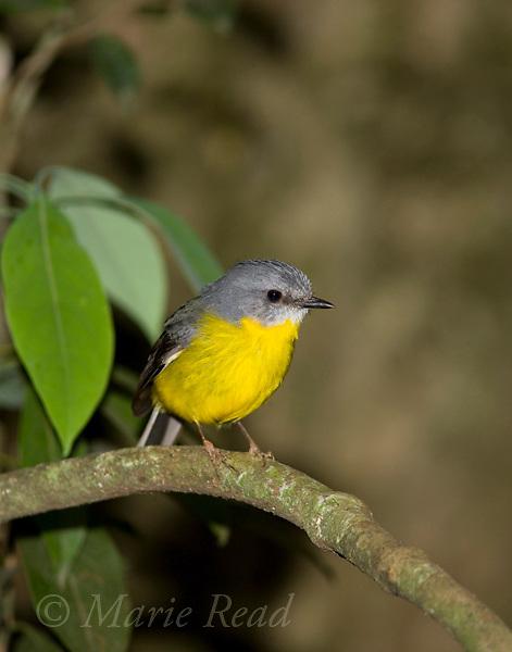 Eastern Yellow Robin (Eopsaltria australis), Lamington National Park, Queensland, Australia
