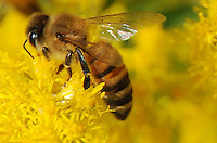 Bee Close-up