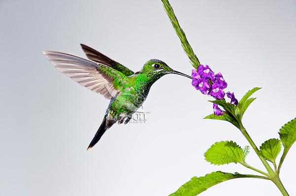 Green-crowned Brilliant (Heliodoxa jacula) female.  Found in the highland tropical forests from Costa Rica to western Ecuador.  This one photographed in Costa Rica.